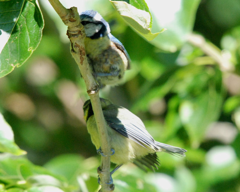 Blue Tit with chick - Strathclyde Loch (NS75 May 2009)