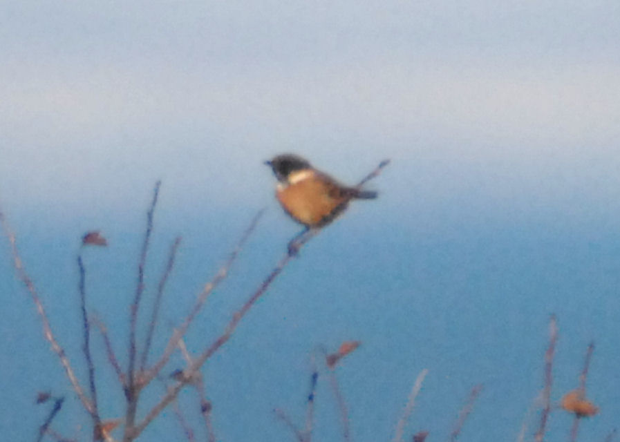Stonechat - Gullane Bay (NT48 October 2010)